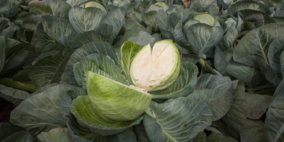 Dutch White Cabbage